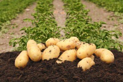 жидкие удобрения для картофеля