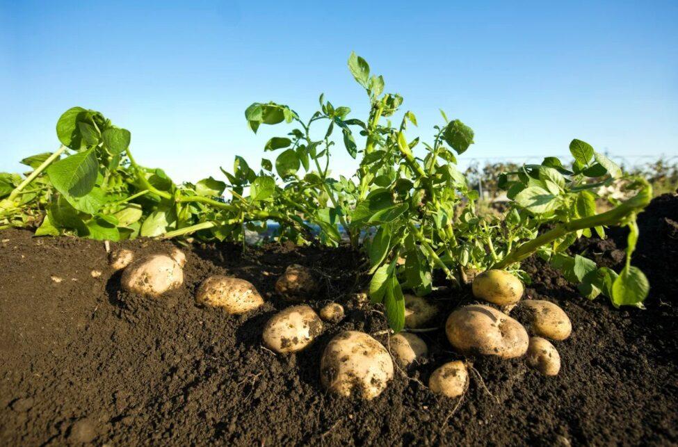 Изагри для картофеля