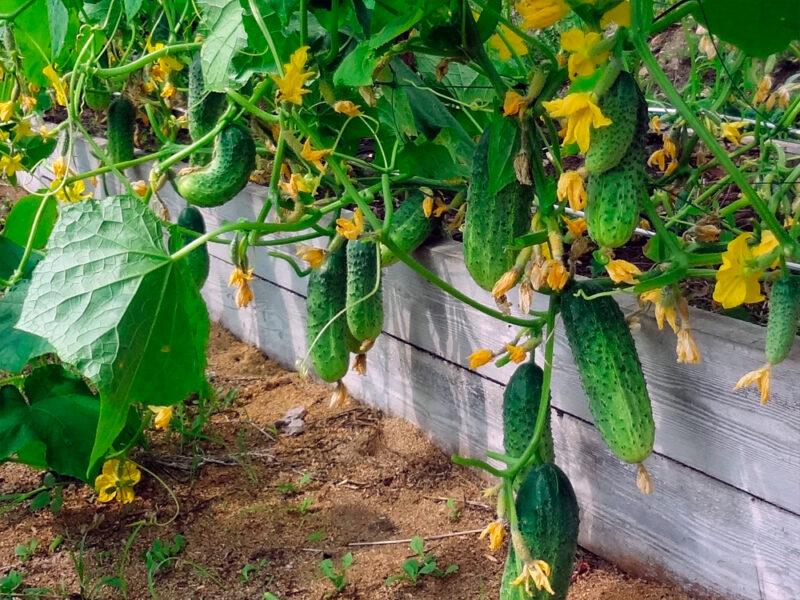 Удобрения для роста урожая огурцов от Изагри