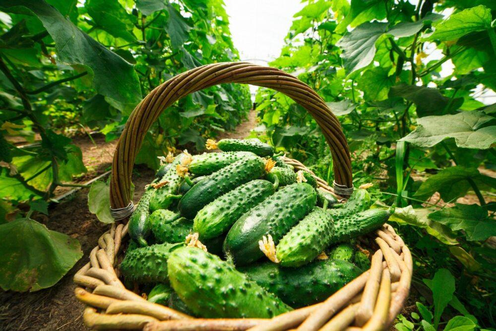 Урожай огурцов с удобрениями Изагри для лучшего роста