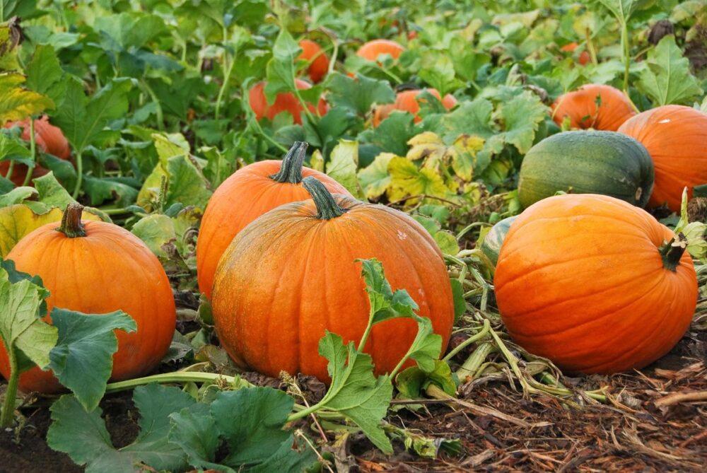 Удобрения для урожая тыквы