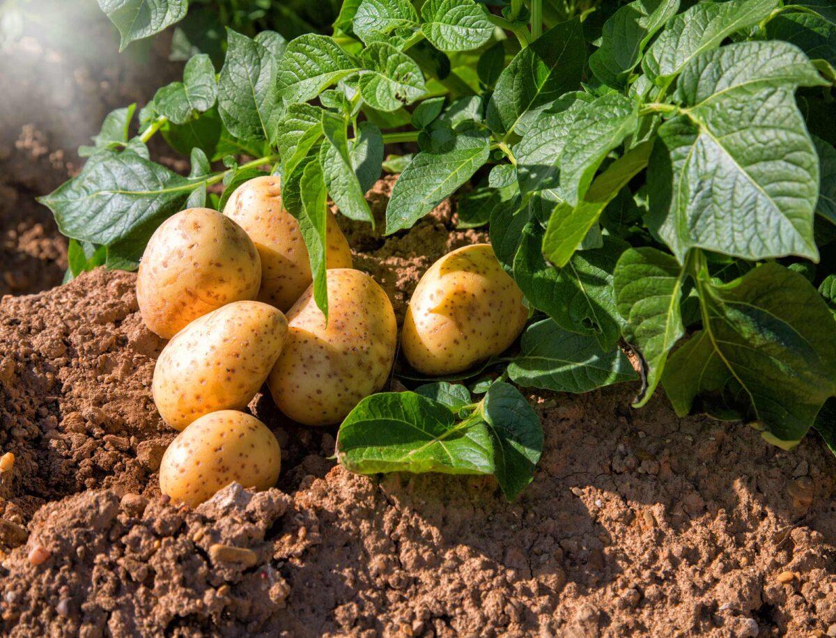 Внешний вид картофеля