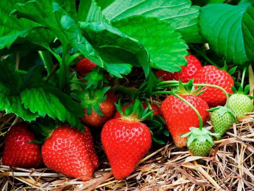 Удобрения Изагри для хорошего урожая клубники