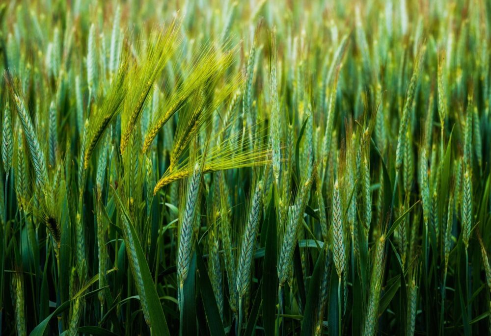 Факты о пшеницы